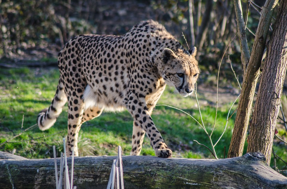 cheetah-896787_960_720